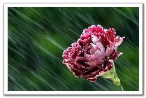 0408141044181flowe_in_the_rain_t.jpg